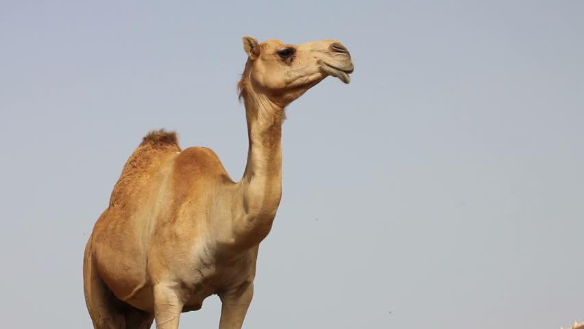 Header of camel