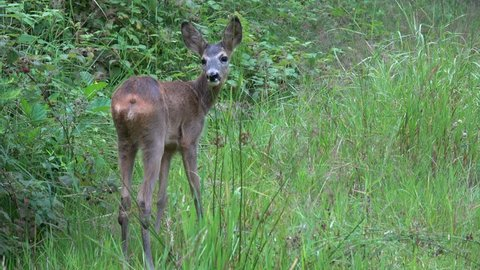 Young doe in a grass field. Roe deer, Capreolus capreolus. Wildlife scene from nature.