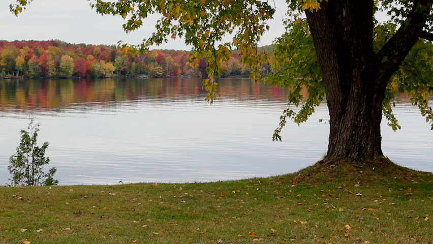 Oak tree on lake shore with colorful maple trees in the background.