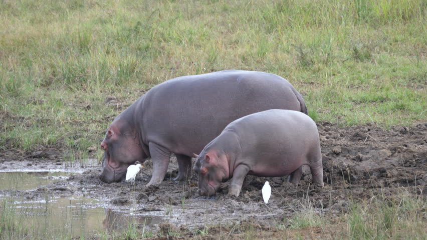 Mother and baby hippo eating near a waterpool in Pilanesberg Game Reserve South Africa