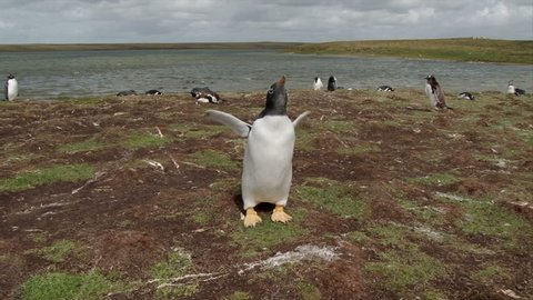 A Gentoo penguin rapidly flapping its wings to cool dow and calling. Bluff Cove Falkland Islands.