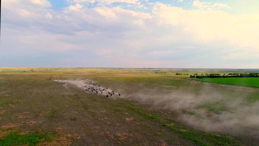 Aerial view of cattle running on dry dusty field in Nebraska