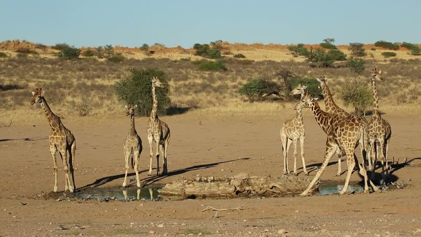 Giraffes (Giraffa camelopardalis) drinking water at a waterhole, Kalahari, South Africa