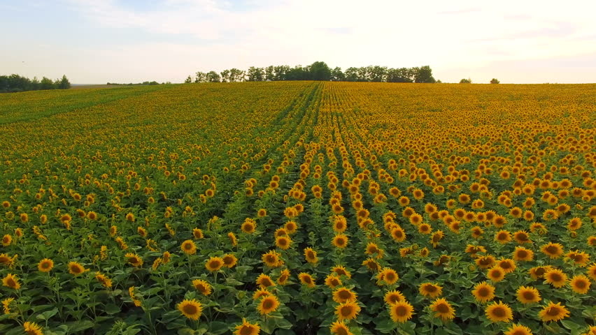 Amazing Aerial View Of Sunflower Fields And Meadow In 4K