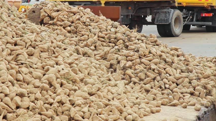 Harvest sugar beet processing. Vegetable processing plant. Agriculture vehicle preparing sugar beet for processing