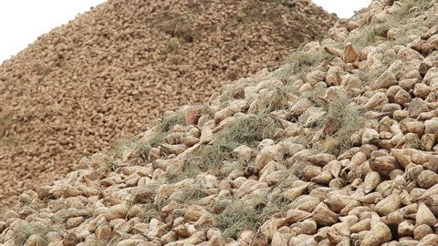 Pile of sugar beet harvest. Raw materials on processing factory. Harvested sugar beet. Harvest vegetables background