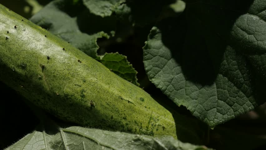Header of Cucurbitaceae