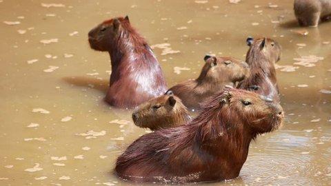 capybara in water