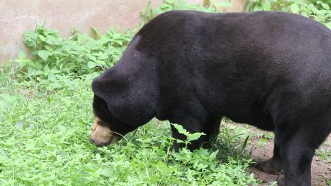 Malayan sun bear or Honey bear a cute animal.