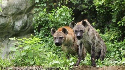 Hyenas, Africa animal.