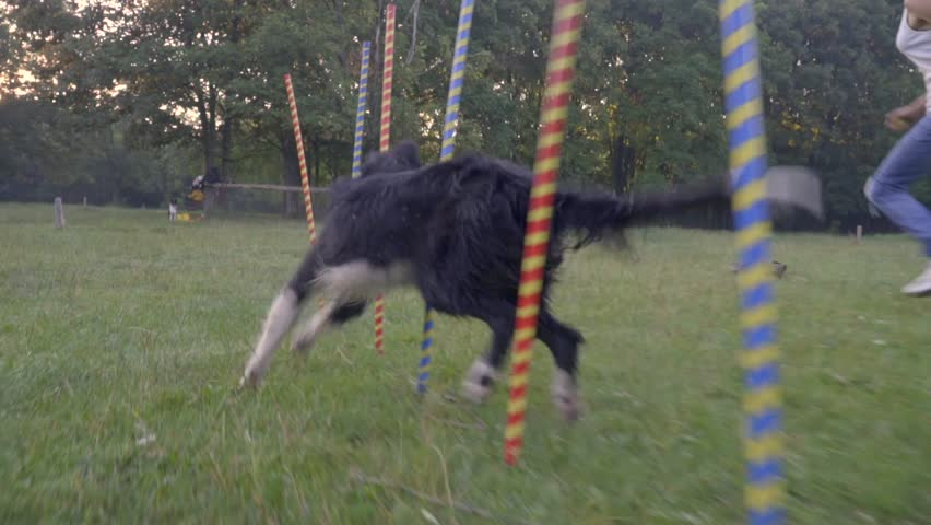 Slalom Border Collie Training Runs Among Multicolored Pillars On The Nature Summer Day, slow motion shooting