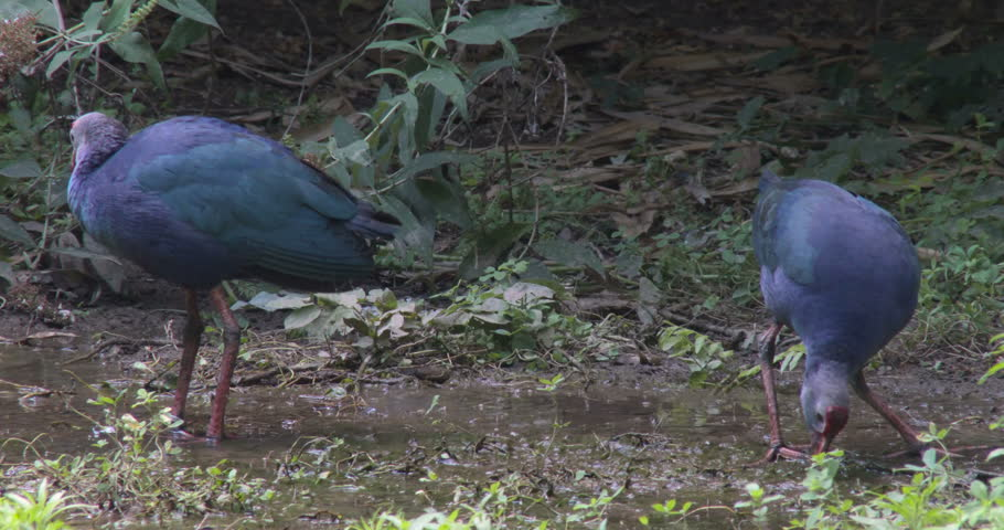 A pair of  western swamphens (Porphyrio porphyrio) also known as the sultana bird, feeding in the swamp. Close-up with birdsongs background. #29486833