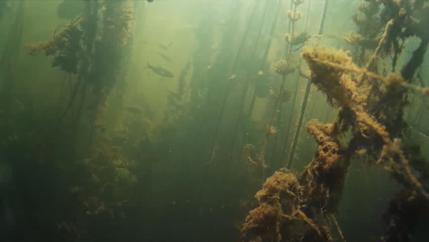 Shoal of small freshwater fish under water