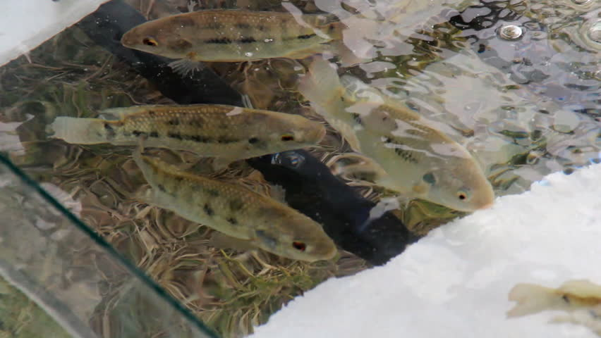 Header of pisciculture