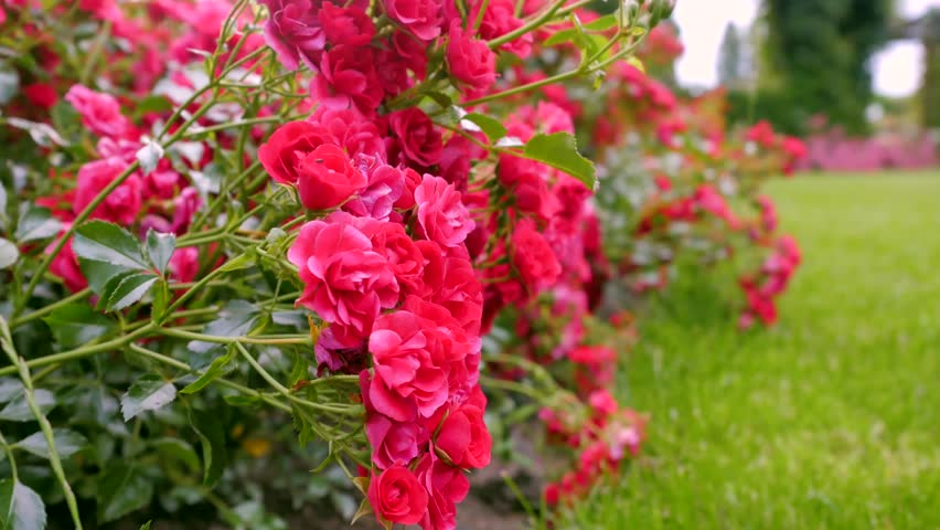 Shrubs with red roses. #29561041