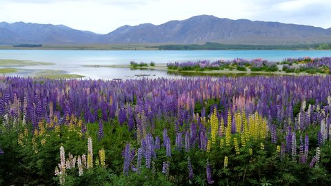 Beautiful Lupin Field at Lake Tekapo, New Zealand in Summer.