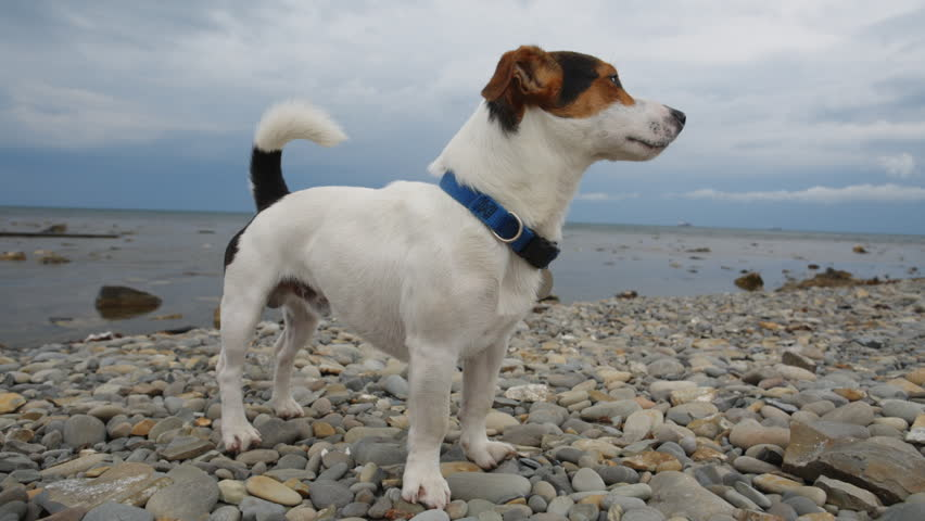 Small dog breed Jack Russell Terrier looks into the distance on the coast.