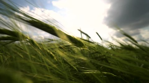 Close-up of green wheat ears in sunny day with clouds. Cereals. Good harvest. Rye field. Omsk. Russia.
