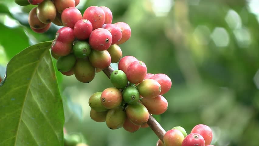 Coffee cherries (beans) ripening on a coffea tree branch (closeup)