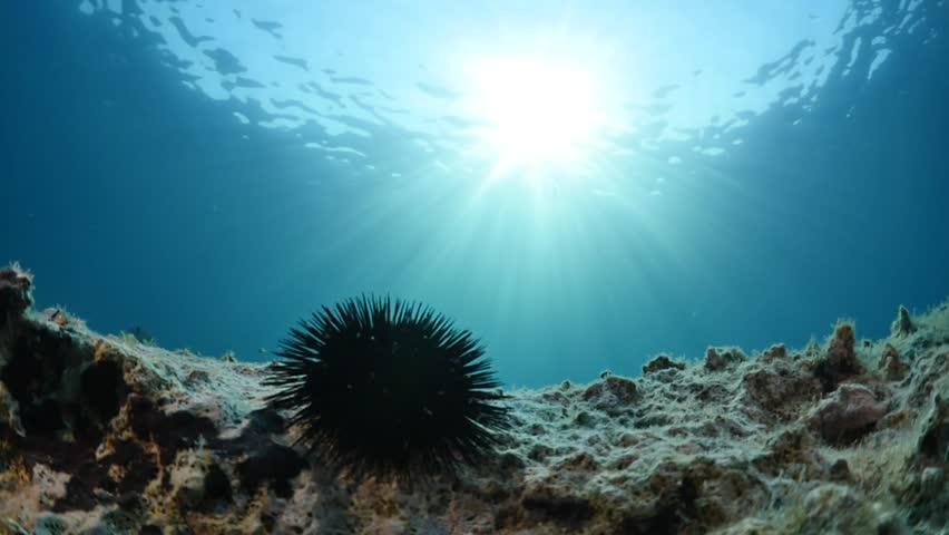 sea urchin underwater scenery with sun light rays fish