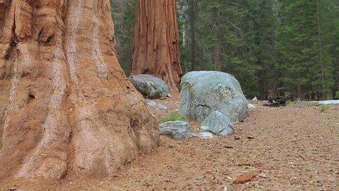 Sequoias. Tilt up giant Sequoia trees in Yosemite National Park. Sequoia tree giant mariposa grove. In the foreground the giant Sequoia tree.