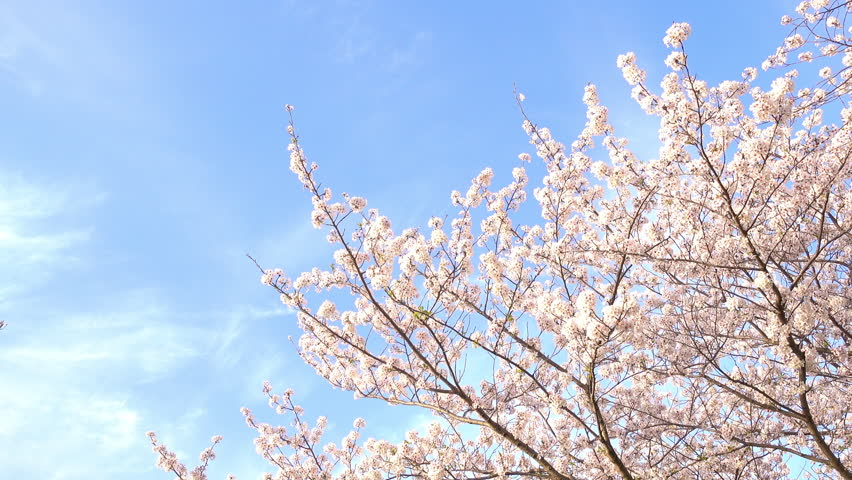 Cherry blossoms swaying in wind over blue sky  | Shutterstock HD Video #29867743