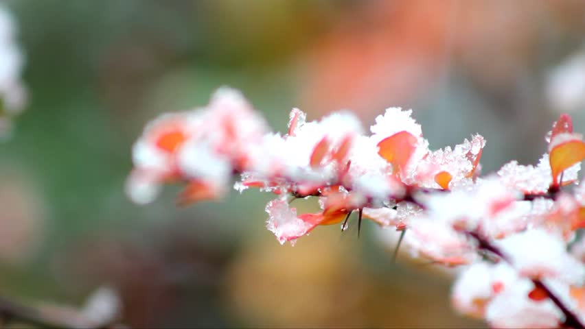 Barberry twig on which a first snow
