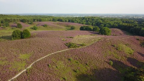 Aerial of purple heather in bloom at national park the Posbank Veluwe Netherlands - 4K