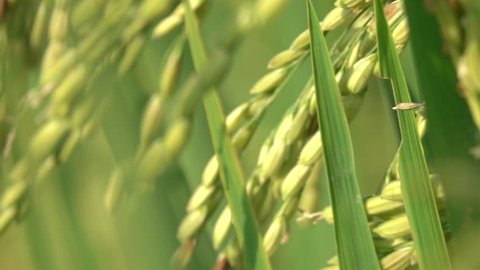SLOW MOTION, MACRO CLOSE UP, DOF: Detail of dry husked seeds on rice plant on gorgeous paddy field in sunny Bali. Beautiful ripe crops on rice plantation. Food cultivation in Asia.