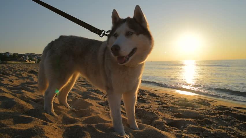 cute siberian husky dog on beach during sunset or...