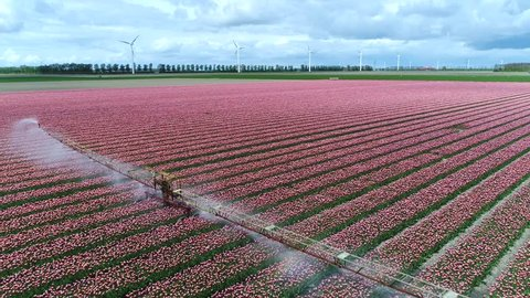 Aerial above polder landscape pink red tulip field flying backwards away from irrigation sprinkler system applying irrigation water which is similar to rainfall sprayed into air through sprinklers 4k