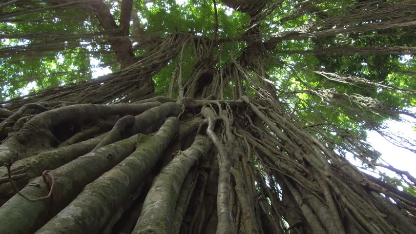 LOW ANGLE, CLOSE UP: Woody lianas hanging from big ancient tree in impassable primeval Monkey Forest jungle in Ubud, Bali. Tangled vines climbing up the trunk searching for sunshine in rainforest
