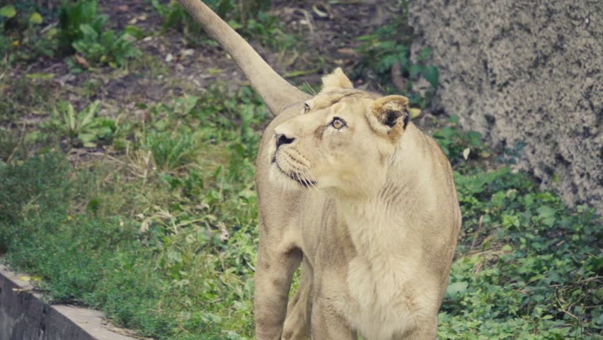 Lioness Panthera Leo Is One Stock Footage Video 100 Royalty Free