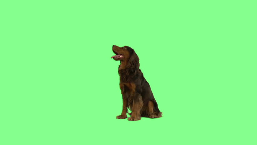 brown  Spaniel sitting and looking on a green screen   #30178213