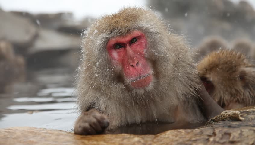 japanese snow monkeys or macaques