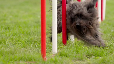 Pet racing in competition, animal agility race with dog running and doing slalom. Sequence with slow motion