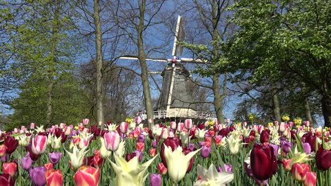 Static low angle footage of colorful tulip flowers and windmill in background blades turning slowly counter clockwise by soft spring breeze spring scene in flower park in Holland The Netherlands