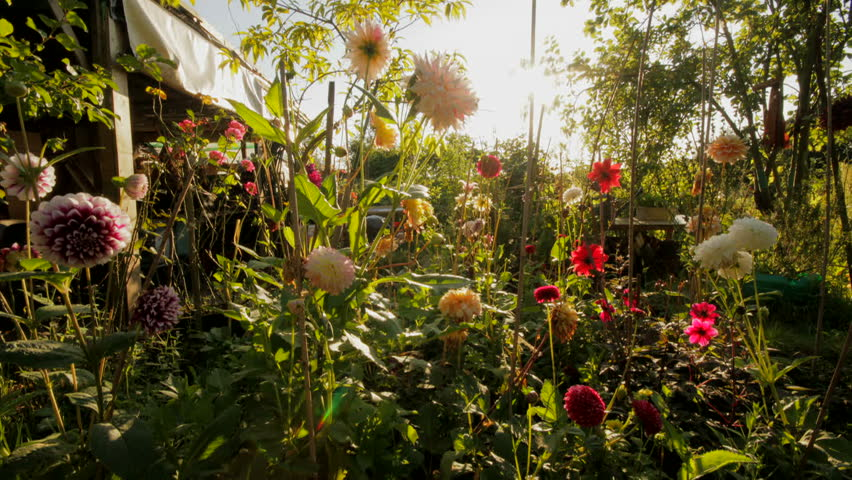 Version 3. Dahlia Flowers Flowering In Garden With Sun Setting Time Lapse  ...