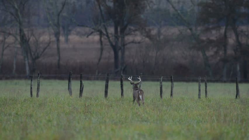 White- tailed deer bucks near a fence in an open meadow