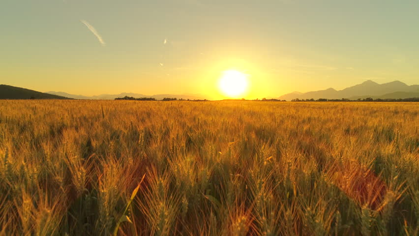 AERIAL, CLOSE UP: Flying above beautiful rural summer landscape with endless golden wheat fields at dreamy sunset. Agricultural valley in mountainous landscape at sunrise. Gorgeous ripe wheat field | Shutterstock HD Video #30367243