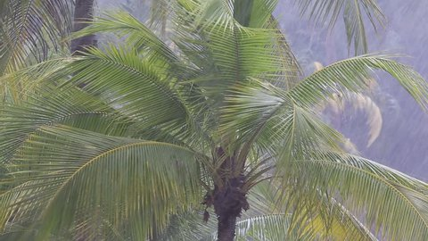 Tropical wind and rain drops falling on the green palm tree leaves in Pattaya, Thailand