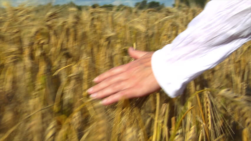 A womans hand brushing over wheat field wide. Camera ends on wheat. 10715