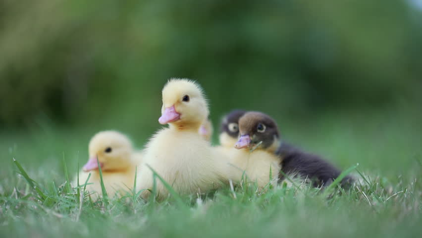 Lovely shot of cute sweet yellow ducklings baby ducks staying together on a green meadow. Easter ducklings.