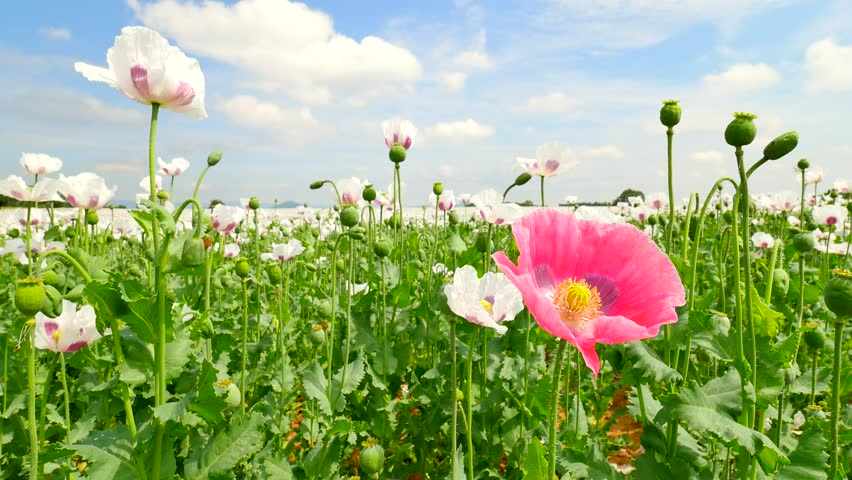 Poppies on sunny day. Alone red pink poppy flower hybrid between white poppies in large field. Beautiful poppy freshness. Bright white and red oriental hybrid poppy flower.  | Shutterstock HD Video #30402403