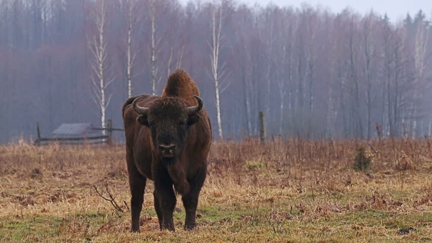Wild Bison in the forest. European bison (Bison bonasus). It is one of two species, alongside the American bison.