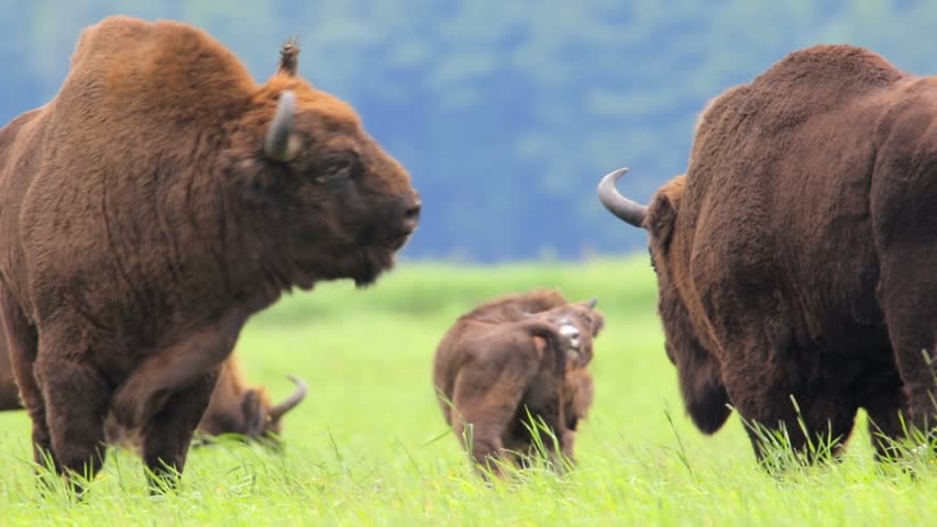 European bison. Two fighting bulls. Rutting season.