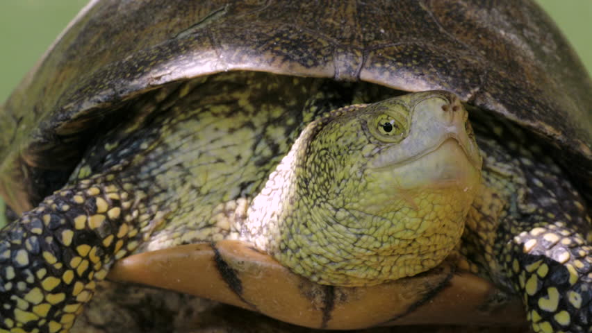 Close Up Of Turtle Head, Sun Resting