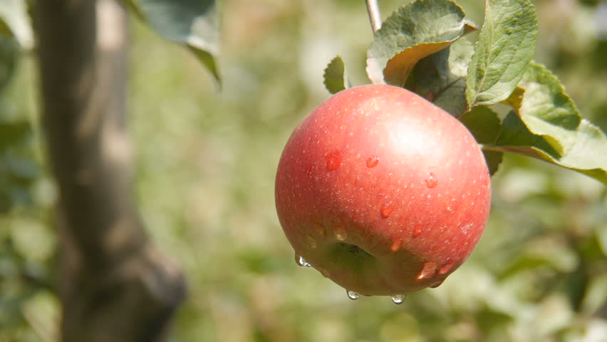 Apples in the garden. #30458053