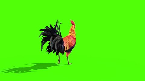 Rooster Plumage Walks Back Green Screen 3D Rendering Animation