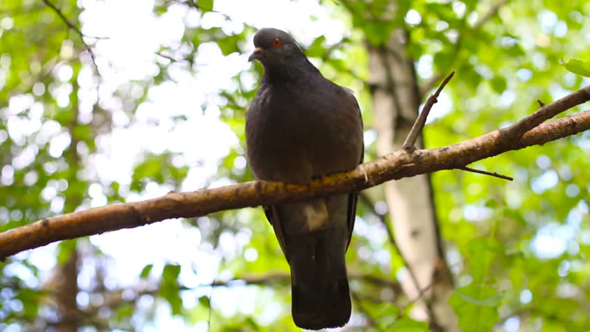 bird wood gray pigeon on branch, close up, blurred background